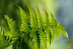 Zielona paproć w lesie Obraz Stock