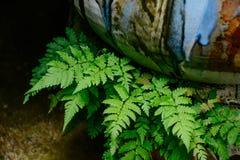 Zielona paproć z ceramicznym Obraz Royalty Free
