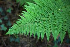 Zielona paprociowa roślina Obrazy Stock