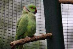 zielona papuga obraz stock