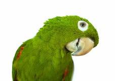 zielona papuga Obrazy Stock