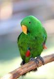 zielona papuga Zdjęcie Stock