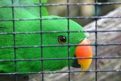 zielona papuga długoogonowa klatki Fotografia Stock