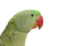 zielona papuga profil Obrazy Stock