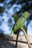 Zielona papuga w bokeh i dzikim obrazy royalty free