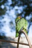 Zielona papuga w bokeh i dzikim obrazy stock