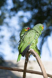 Zielona papuga w bokeh i dzikim Fotografia Stock