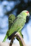 Zielona papuga w bokeh i dzikim obraz royalty free