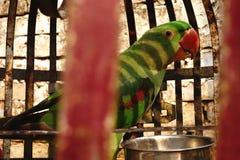 Zielona papuga w Czerwonej klatce Obraz Stock