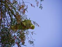 Zielona papuga w drzewie obraz royalty free
