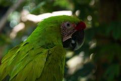 Zielona papuga w tropikalny forrest Obrazy Royalty Free