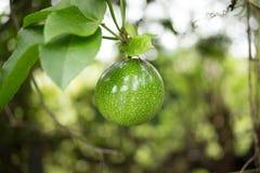 Zielona Pasyjna owoc Zdjęcie Stock