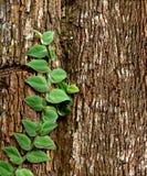 Zielona pełzacz roślina obraz royalty free