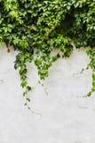 Zielona pełzacz roślina dalej obraz stock