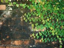 Zielona pełzacz roślina na ściana z cegieł Obraz Royalty Free