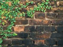 Zielona pełzacz roślina na ściana z cegieł Fotografia Royalty Free
