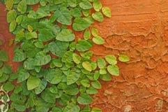 Zielona pełzacz roślina na ścianie Obrazy Royalty Free