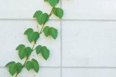 Zielona pełzacz roślina na biel ścianie Obraz Royalty Free