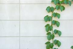 Zielona pełzacz roślina na biel ścianie Obrazy Royalty Free