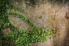 Zielona pełzacz roślina na biel ścianie Fotografia Royalty Free