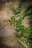 Zielona pełzacz roślina na biel ścianie Zdjęcie Stock