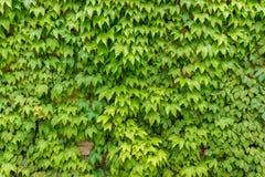 Zielona pełzacz roślina na domowej ścianie Obrazy Stock