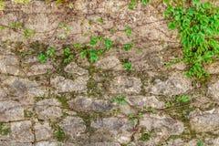 Zielona pełzacz roślina na starej dom ścianie Zdjęcia Stock