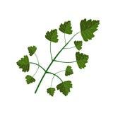 zielona pietruszka Obrazy Stock
