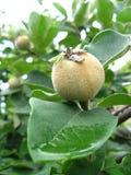 Zielona pigwa na drzewie Zdjęcie Stock