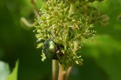 Zielona pluskwa zdjęcie stock