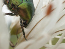 Zielona pluskwa i kwiat lilly Zdjęcie Stock