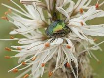 Zielona pluskwa i kwiat lilly Fotografia Stock
