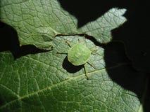 Zielona pluskwa na winogradu liściu Fotografia Stock