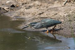 zielona podparta heron Zdjęcie Royalty Free