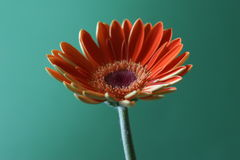 zielona pomarańcze zdjęcie royalty free
