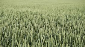 zielona pszenicy zbiory