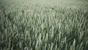 zielona pszenicy zbiory wideo