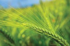 zielona pszenicy zdjęcie royalty free
