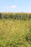 Zielona pszeniczna roślina i trawa fotografia stock