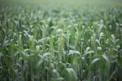 Zielona pszeniczna tło wsi i pola scenerii dof naturalnego światła fotografia Zdjęcie Royalty Free