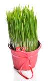 Zielona pszeniczna trawa Fotografia Stock