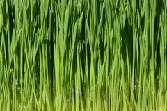 Zielona pszeniczna trawa z wodnymi kroplami obrazy royalty free