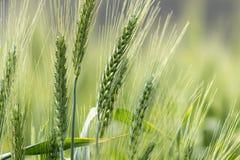 Zielona pszeniczna uprawa obrazy stock