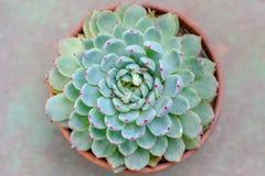 Zielona różowa tłustoszowata roślina zdjęcia royalty free