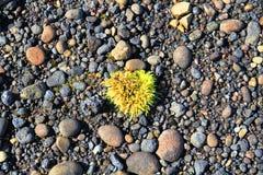 Zielona roślina na czerni plaży blisko Hvitarvatn, Iceland zdjęcia royalty free