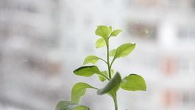 Zielona roślina na nadokiennym tle zdjęcie wideo