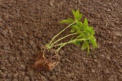 Zielona roślina przed zasadzać Zdjęcie Stock
