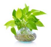 Zielona roślina w Ceramicznej wazie, obraz royalty free