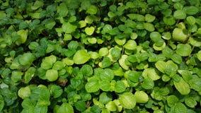 Zielona roślina w naturalnym statusie zdjęcia royalty free