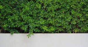 Zielona roślina z biel ścianą Zdjęcia Royalty Free